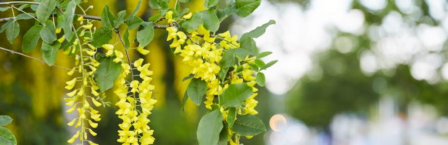 Gula blommor på ett träd med cyklist i bakgrunden